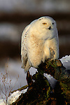 A snowy owl perches on a tree trunk in British Columbia.