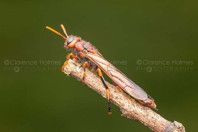 A male Pigeon Tremex (Tremex columba) clings to the end of a twig.