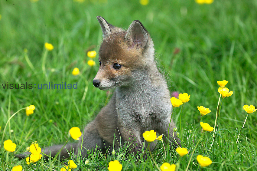 Red Fox pup (Vulpes vulpes), Normandy, France