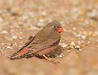 Trumpeter Finch - Bucanates githagineus - male