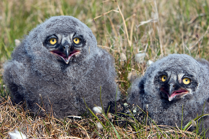 Two Snowy Owl, Bubo scandiacus, fledglings hunker down among Cotton Grass on Alaska's North Slope.