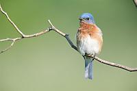 Eastern Bluebird (Sialia sialis sialis), male.