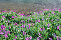 Clear Lake and wildflowers in alpine meadow, Parry's Primrose,Primula parryi, Ouray, San Juan Mountains, Rocky Mountains, Colorado, USA, July 2007