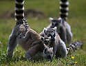 16/05/16<br /> <br /> &quot;Hold on tight&quot;<br /> <br /> Three baby ring-tail lemurs began climbing lessons for the first time today. The four-week-old babies, born days apart from one another, were reluctant to leave their mothers&rsquo; backs to start with but after encouragement from their doting parents they were soon scaling rocks and trees in their enclosure. One of the youngsters even swung from a branch one-handed, at Peak Wildlife Park in the Staffordshire Peak District. The lesson was brief and the adorable babies soon returned to their mums for snacks and cuddles in the sunshine.<br /> All Rights Reserved F Stop Press Ltd +44 (0)1335 418365