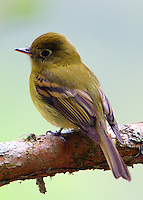 Yellowish Flycatcher
