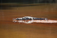 Fresh Water Crocodile, Mary River, Kakadu NP, NT, Australia