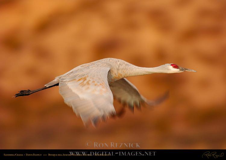 Sandhill Crane, Flyout at Dawn, Bosque del Apache Wildlife Refuge, New Mexico