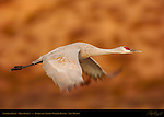 Sandhill Crane, Flyout at Dawn, Bosque del Apache Wildlife Refuge, New Mexico