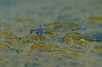 Kleines Granatauge, Männchen, Erythromma viridulum, Small Redeye, Small Red-eyed Damselfly, male, Naïade au corps vert