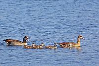 Nilgans, mit Küken, Nil-Gans, Alopochen aegyptiacus, Egyptian Goose, Oie d'Égypte
