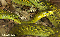 0423-1103  Mating Snakes, Pair of Western Green Mamba (West African Green Mamba) in Copulation, Dendroaspis viridis  © David Kuhn/Dwight Kuhn Photography