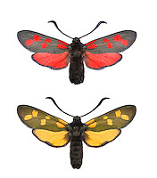 Six-spot Burnet - Zygaena filipendulae<br /> top = normal form<br /> bottom = unusual yellow form<br /> 54.008 BF169