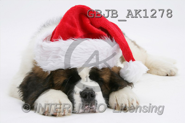 Kim, CHRISTMAS ANIMALS, photos, Saint Bernard puppy, saint bernard pup(GBJBAK1278,#XA#) stickers