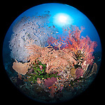 Misool, Raja Ampat, Indonesia; Fiabacet area, large sea fans, sponges and green black sun corals populate a coral bommie
