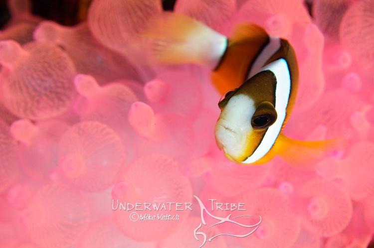 Clark's Anemonefish, Amphiprion clarkii, in pink bubble tip anemone, Sangeang Volcanic Island, Nusa Tenggara, Indonesia, Pacific Ocean