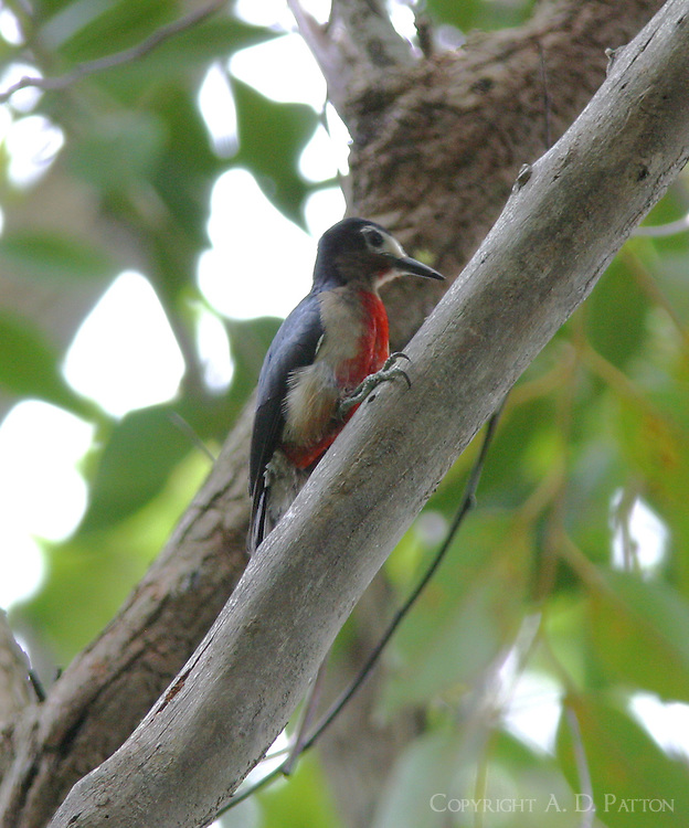 Puerto Rican woodpecker female