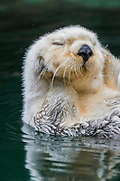 Sea Otter (Enhydra lutris) resting