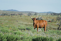 Longhorn Cow, Witchita Mountains National Wildlife Refuge, Oklahoma