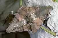 Taubenschwänzchen, Paarung, Kopula, Kopulation, Taubenschwanz, Macroglossum stellatarum, Wanderfalter, Kolibrischwärmer, Kolibri-Schwärmer, Schwärmer, Sphingidae, Hummingbird Hawk-moth, copulation, Hummingbird Hawkmoth, Humming-bird Hawk-moth, Hummingmoth, sphinx moth, sphinx moths, hawkmoths, hawk moths
