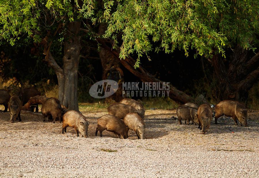 Apr 26, 2017; Lake Pleasant, Arizona, USA;   A pack of javelinas feed along the beach of Saguaro Lake. Mandatory Credit: Mark J. Rebilas