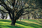 Oak trees at Sonoma Regional Park, Valley of the Moon, Sonoma County, California
