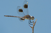 379080001 a wild female four-spotted pennant brachymesia gravida perched on a limb near bentsen rio grande valley state park texas
