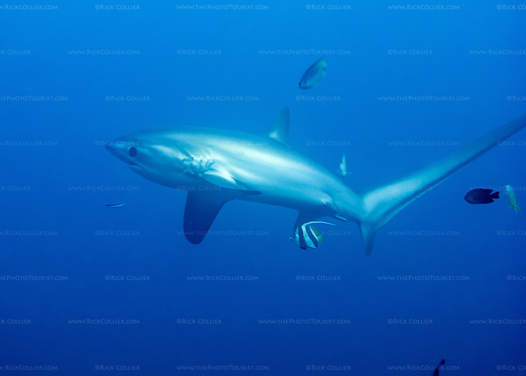 A thresher shark swims past after checking out the photographer above Monad Shoal.  The pelagic sharks come up to Monad to be cleaned by the many small reef fish there.  (At Monad Shoal near Malapascua Island, Central Visayas, the Philippines.)