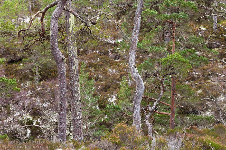 Scots Pines {Pinus sylvestris}, Glen Affric, Caledonian Forest Reserve, Scotland, UK , November.