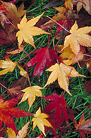 overview of golden, red and green maple leaves on grass lawn. season, seasonal, autumn color, fall foliage, tree, leaf, botany, chlorophyl, autumn leaves. California.