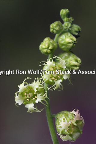 Fringe Cups (Tellima grandiflora). Windy Hill Open Space Preserve. Portola Valley, San Mateo Co., Calif.