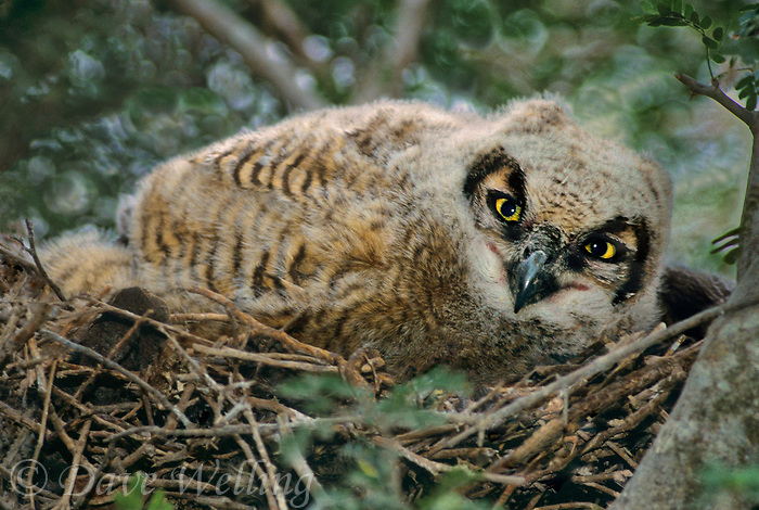 564058011 a wild dreat horned owl chick bubo virginianus on a nest in a mesquite tree in the rio grande valley texas