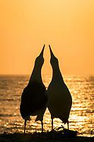Laysan albatross, Phoebastria immutabilis, couple sky-pointing during courtship at sunset, Sand Island, Midway Atoll, Midway National Wildlife Refuge, Papahanaumokuakea Marine National Monument, Northwestern Hawaiian Islands, Hawaii, USA, Pacific Ocean