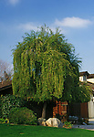 11457-CD Mayten Tree, Maytenus boaria, evergreen weeping tree, at Bakersfield, CA USA