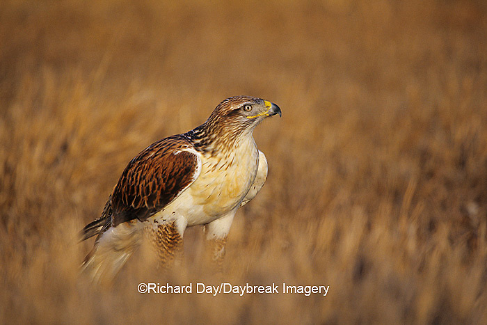 00798-00106 Ferruginous Hawk (Buteo regalis) in prairie,  CO
