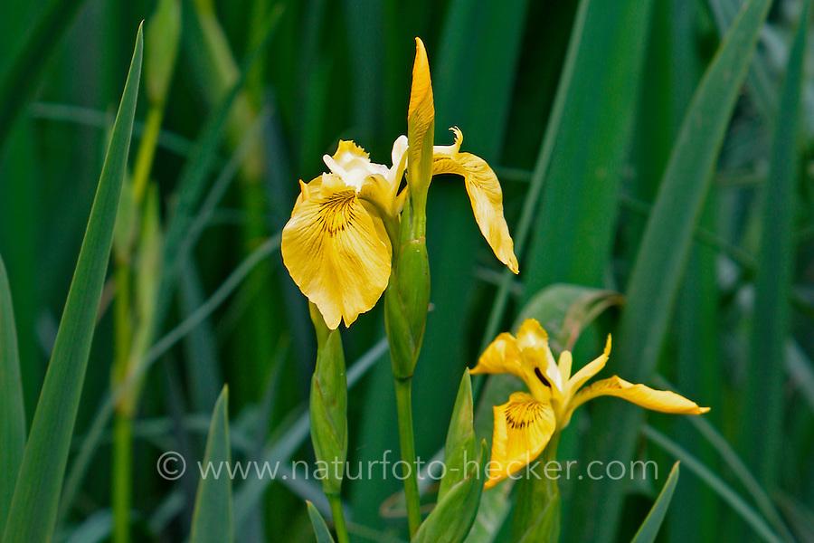 Sumpf-Schwertlilie, Iris pseudacorus, Flag Iris, Yellow Flag, Iris des marais