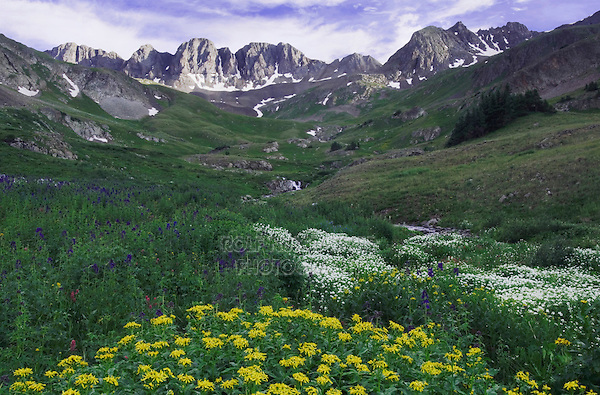 Mountains and wildflowers in alpine meadow, Arrowleaf Ragwort,Senecio triangularis,Tall Larkspur, Heartleaf Bittercress, Ouray, San Juan Mountains, Rocky Mountains, Colorado, USA, July 2007