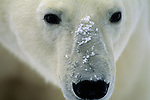 A portrait of polar bear in Canada.