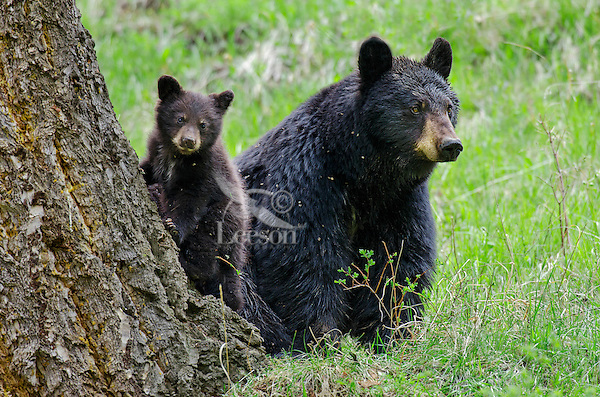 Wild Black Bears (Ursus americanus)--sow with young cub.  Western U.S., Spring.