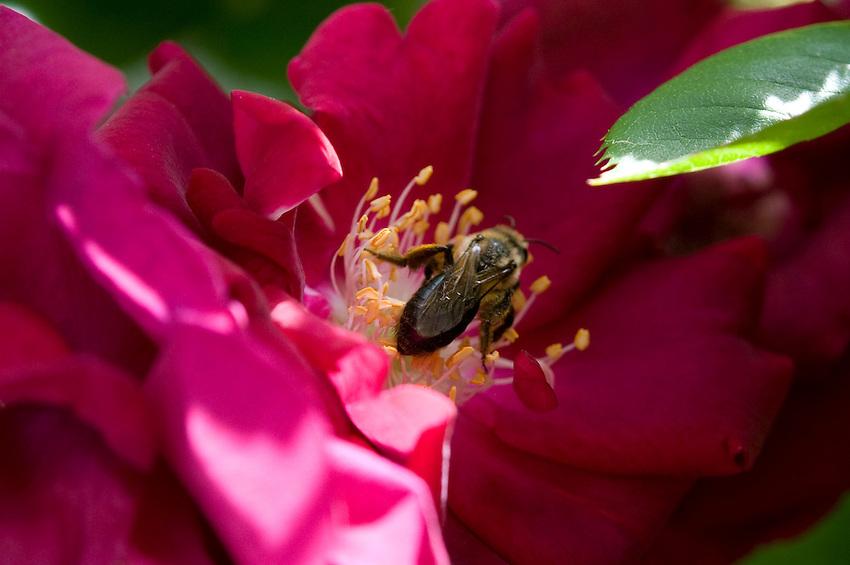 Closeup of a bee pollinating a rose in a backyard garden in Rockville Centre, New York.