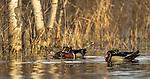 Wood ducks in northern Wisconsin