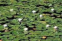 Flowering waterlily.
