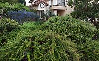 Mounding groundcover shrub Eriogonum 'Bruce Dickinson' foreground; blue flowering Ceanothus 'Concha', Arbutus 'Marina' tree, California native plant garden; Vincent Garden, San Diego