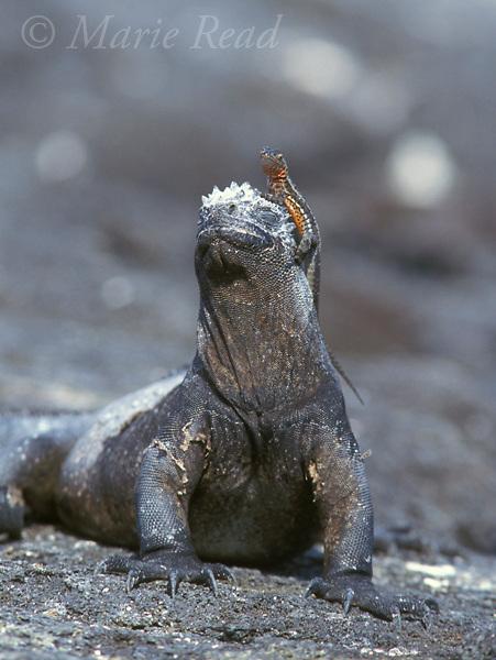 Gal&aacute;pagos Marine Iguana (Amblyrhynchus cristatus), with a Gal&aacute;pagos Lava Lizard (Tropidurus sp.) sitting on its head, Fernandina Island, Gal&aacute;pagos Islands, Ecuador.<br /> Slide # R2-21