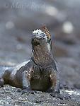 Galápagos Marine Iguana (Amblyrhynchus cristatus), with a Galápagos Lava Lizard (Tropidurus sp.) sitting on its head, Fernandina Island, Galápagos Islands, Ecuador.<br /> Slide # R2-21
