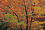 Autumn foliage of red maple (Acer rubrum), Hanging Rock State Park, North Carolina