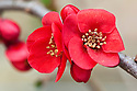 Flowering or Japanese quince (Chaenomeles 'Jane Taudevin'), mid March.