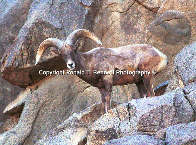 Big Horn sheep Arizona, State of Arizona, Southwest, desert, 48th State, Last of contiguous states, Phoenix, Scottsdale, Grand Canyon, Indian reservations, four corners, desert landscape, exrophyte, western United States, Southwest, Mountains, plateaus, ponderosa pines, Colorado River,  Mountain lion, Navajo Nation, No daylight savings time, Arizona Territory, Arizona, AR, Ariz, Airzona, Arizonia, Arizone, AZ, Fine Art Photography by Ron Bennett, Fine Art, Fine Art photography, Art Photography, Copyright RonBennettPhotography.com ©