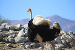 Ostrich running at the Living Desert