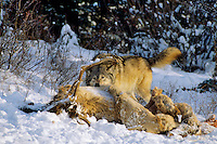 Gray wolf or timber wolf (Canis lupus) feeding on elk carcass.  Winter.  Northern Rockies.