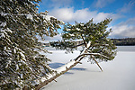 Leaning tree at Eagles Mere Lake with snow in winter. PA.